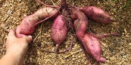 Батат – выращивание этого корнеплода в экстремальных условиях