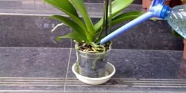 Как поливать фаленопсис – шпаргалка для цветовода