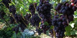 Столовые сорта винограда – выбираем самые сочные и урожайные