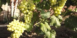 Виноград Лора – особенности этого сорта и техника выращивания