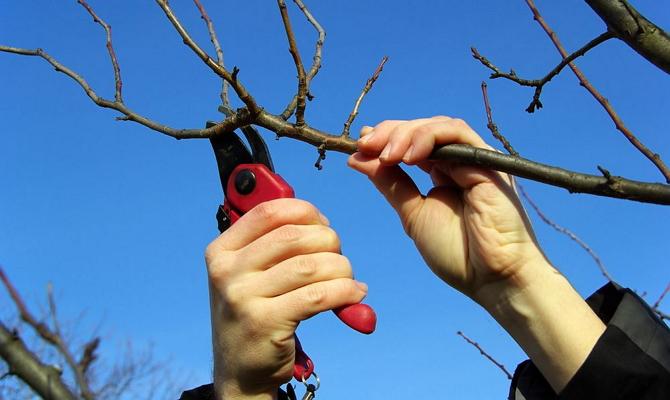 Особенности обрезки молодых деревьев
