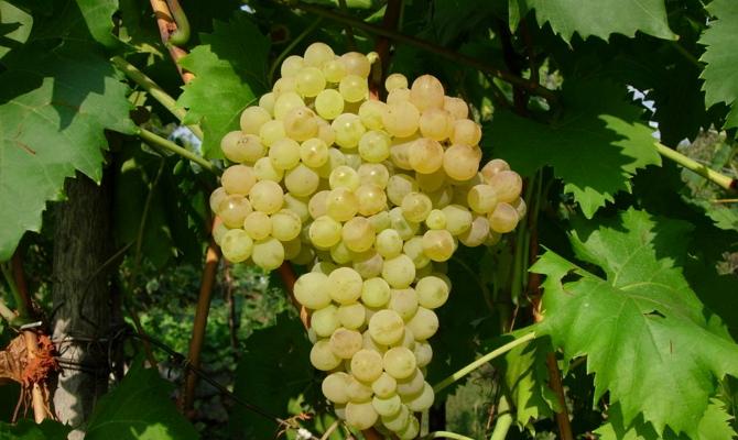 Наиболее сладкие светлые сорта винограда
