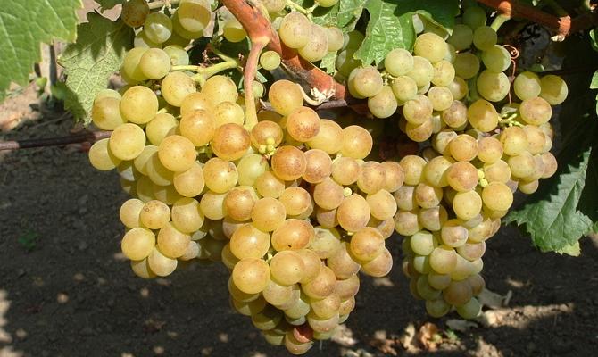Перечень самых урожайных темных сортов столового винограда