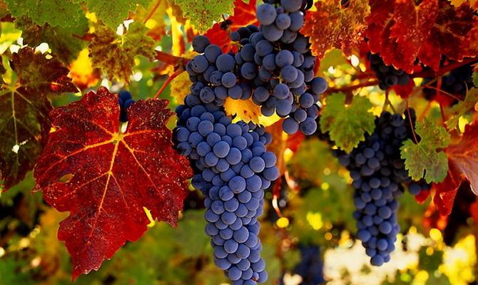 Посадка и уход за Амурским виноградом