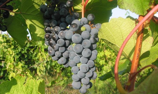 Первые сорта, полученные от селекции дикорастущего амурского винограда