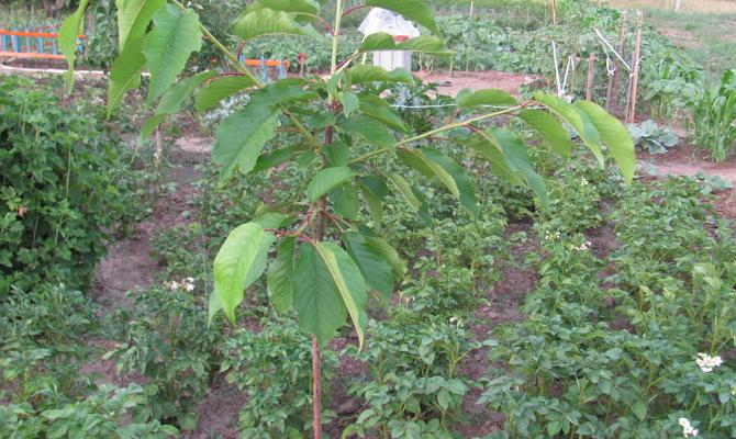 Как правильно сажать черешневые деревья в саду?
