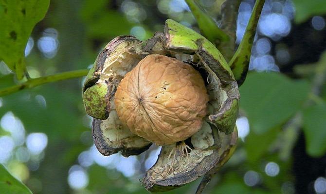Полезные свойства и применение листьев ореха