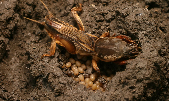 Народные способы ликвидации капустянки с огорода или дачи