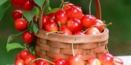 Черешня Юлия – как правильно выращивать деревья этого сорта