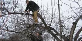 Обрезка черешни – как правильно проредить дерево перед зимой?