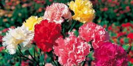 Садовая гвоздика – как вырастить ее с удовольствием?