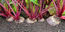 Сорта свеклы, выбираем по характеристикам самый урожайный