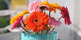 Уход за герберой – советы от профессиональных цветоводов