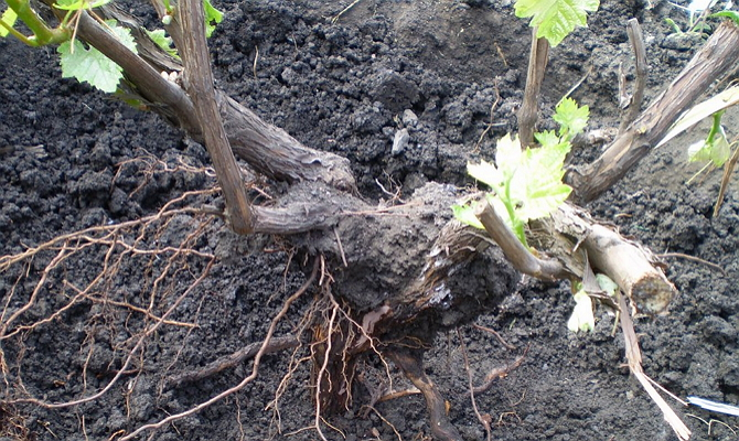 Грядка виноградных черенков в цифрах