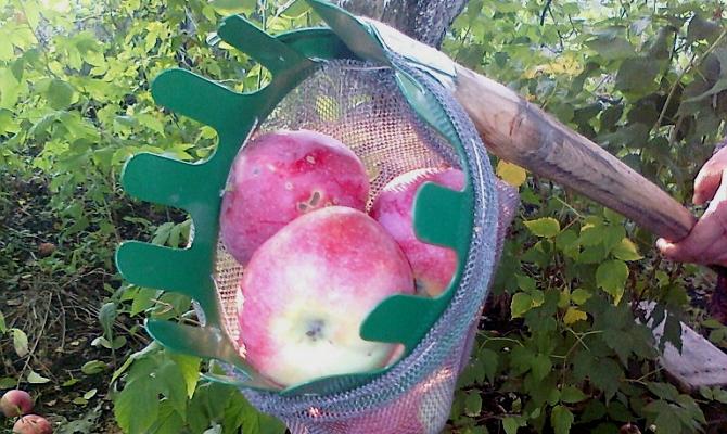 Приспособления для сбора яблок: делаем плодосъемник своими руками