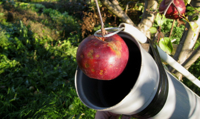 Как сорвать яблоко с верхней ветки