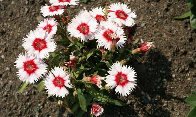 Посадка молодых растений в грунт