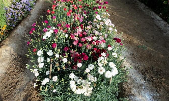 Особенности ухода за садовой гвоздикой