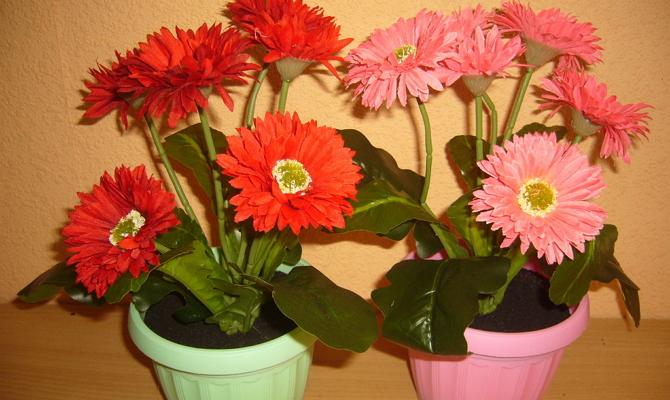 Цветы герберы – уход во время цветения