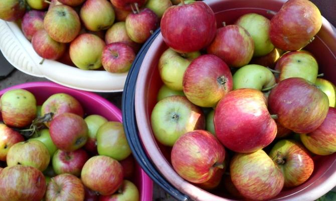 Чем отличаются яблоки?