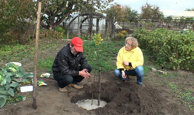 Как правильно начать растить яблоневый сад?
