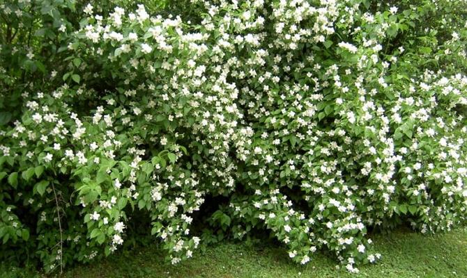 В каких условиях могут расти различные сорта чубушника?