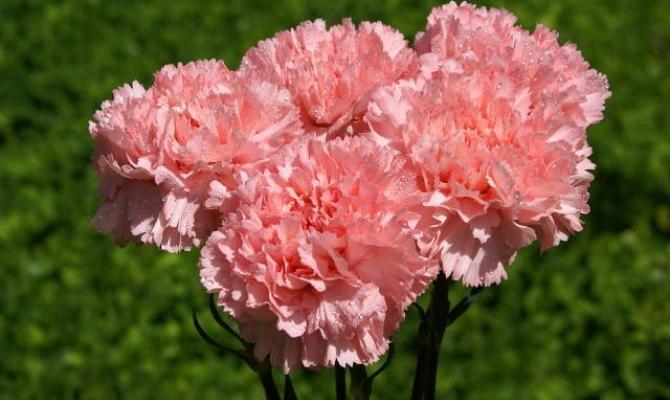 Цветы гвоздики – характеристики наиболее распространенных видов + Видео