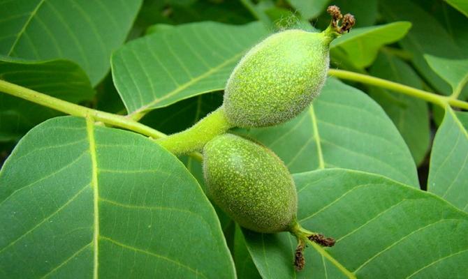 Полезные свойства и описание грецкого ореха