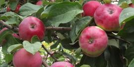 «Боровинка» – сорт яблок для любителей кисленького