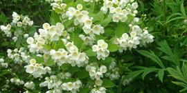 Чубушник – посадка этого красивоцветущего садового растения