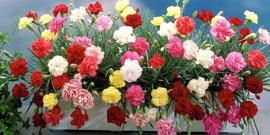 Цветы гвоздики – выбираем сорта и учимся их выращивать в саду