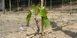 Пересадка винограда – когда куст приживется лучше?