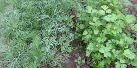 Посадка петрушки и укропа – как иметь на столе зелень почти 9 месяце в в году?