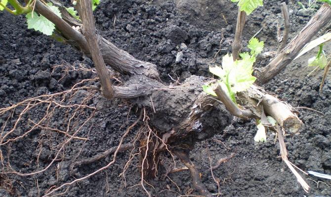 Почему нужен «переезд» виноградной лозы?