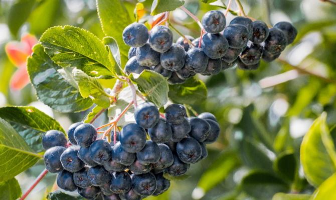 Как выбрать место для высадки черноплодной рябины?