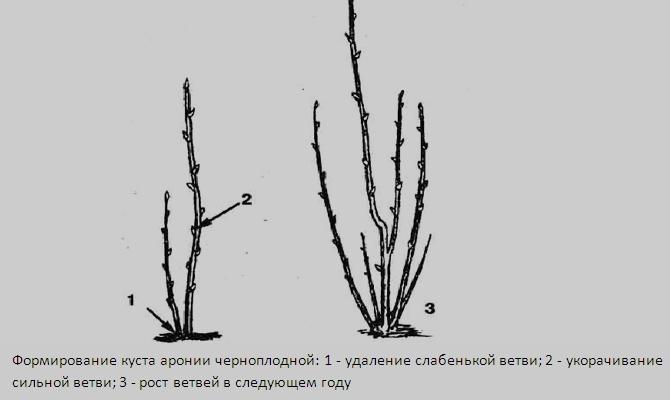 Советы по обрезке и формированию куста черноплодной рябины
