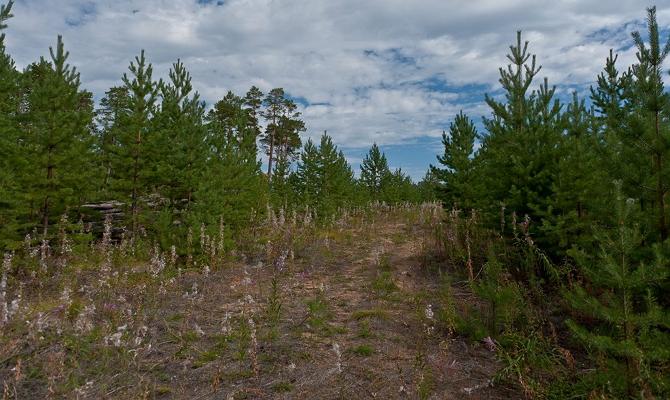Способы размножения хвойного дерева