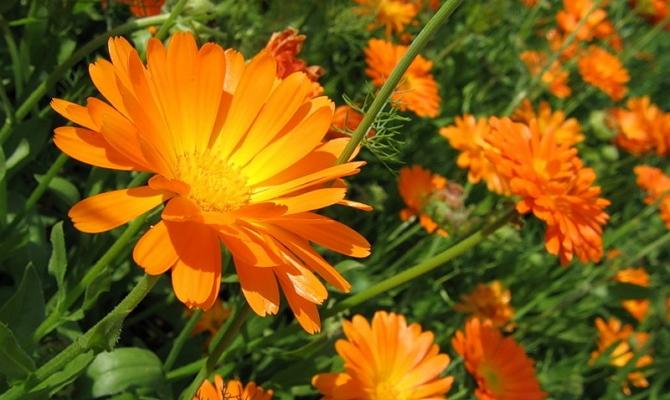 Выбираем солнцелюбивые садовые цветы