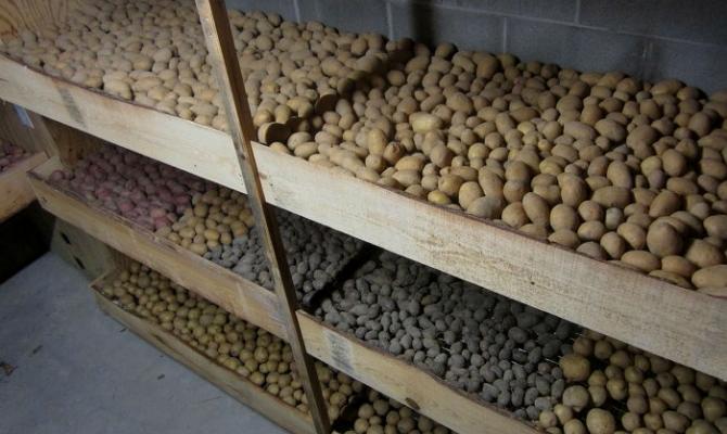Подходящие сорта для хранения и подготовка корнеплодов