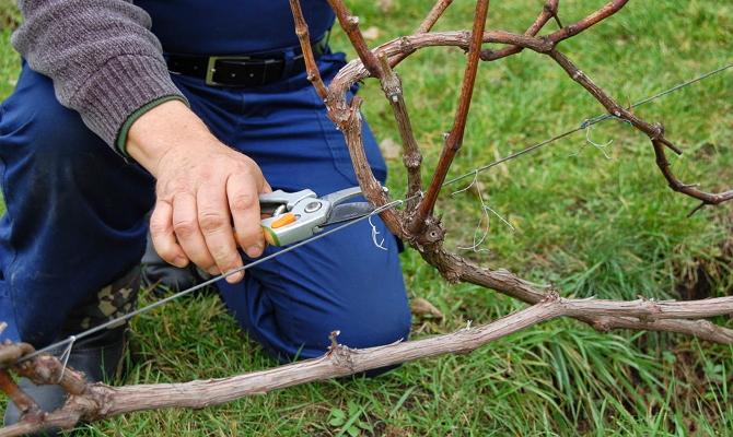 Предварительная обрезка побегов винограда