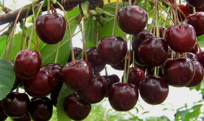 Основные характеристики вишни «Морозовка»
