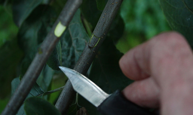 Как правильно размножать сорт и уберечь дерево от истощения?