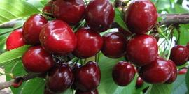 Черешня Василиса – описание сорта или ищем женские черты у дерева