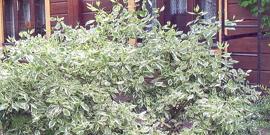 Дерен пестролистный – посадка и уход за красивым кустарником в саду
