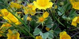 Лапчатка кустарниковая – посадка и уход за необычным растением