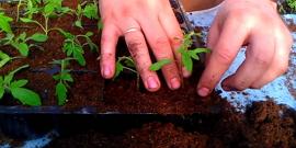 Пикировка рассады помидор – как отправить культуру в самостоятельное плавание?