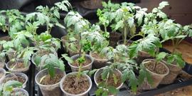 Подкормка рассады томатов – помогаем растениям пойти в рост