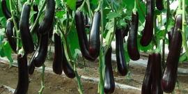 Как посадить баклажан – выращиваем крупные «синенькие» плоды