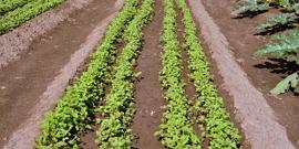 Посадка картофеля по Митлайдеру – как собрать с квадратного метра пять мешков картошки?