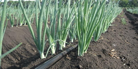 Посадка лука-репки весной – рекомендации от опытных огородников